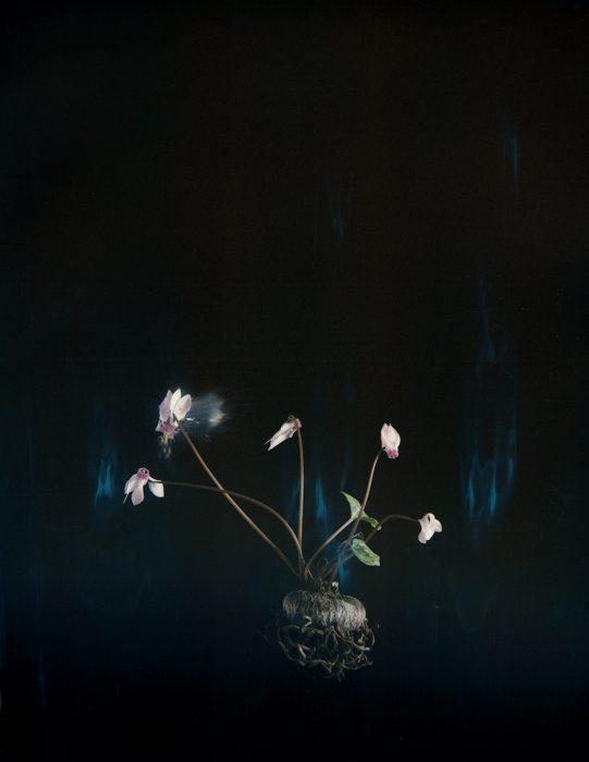 Cyclamen P03, 2018, Archival Pigment Print, 30X40cm