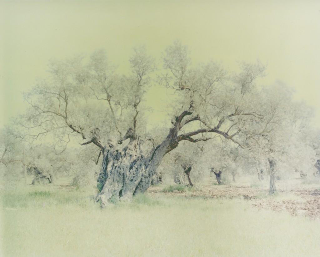 Ori Gersht, Olive 15, C-Print, 120x150cm, 2004