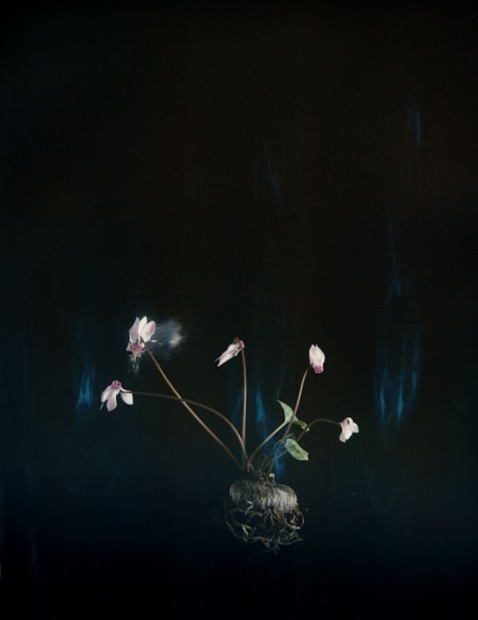 Cyclamen, P03, 2018, Archival Pigment Print, 31x25cm